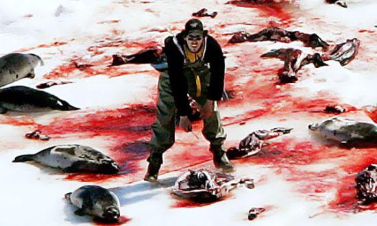 pobres-focas
